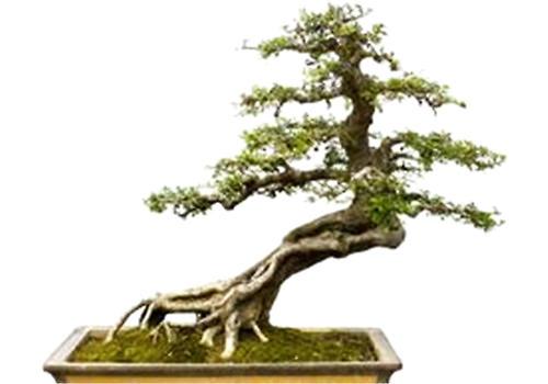 十大功劳树桩图片
