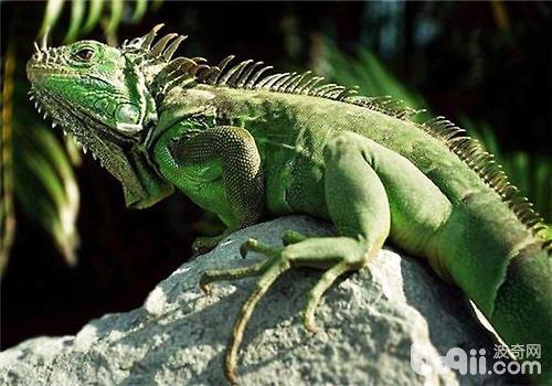 绿鬣蜥的生活习性及寿命