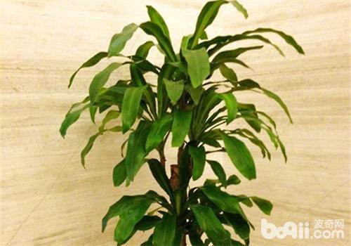 龟背竹盆栽造型图片