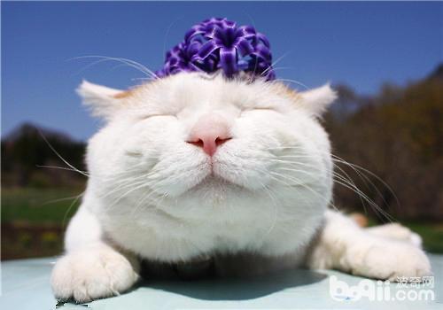 日本田园猫_盘点全球最火爆的八位喵星人|猫咪品种-波奇网百科大全