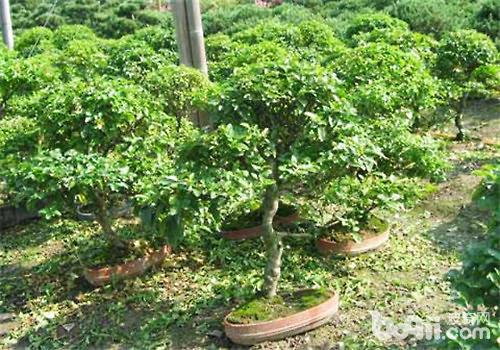 小叶女贞属于木犀科女贞属的小灌木,虽然小叶女贞也会开花,但是