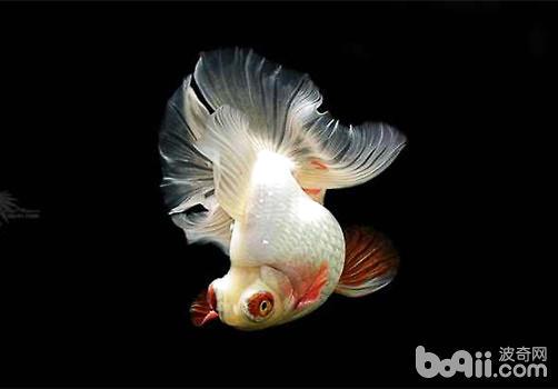 金鱼养殖必备守则