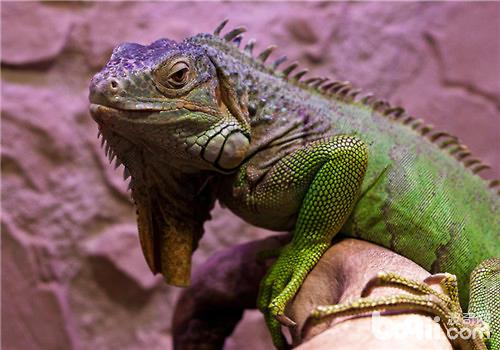 绿鬣蜥是国家二级保护动物,我们都知道,保护动物都数量稀少,且是被