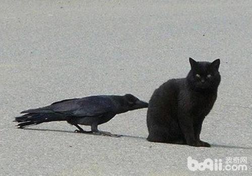 乌鸦扯尾巴的含义是什么