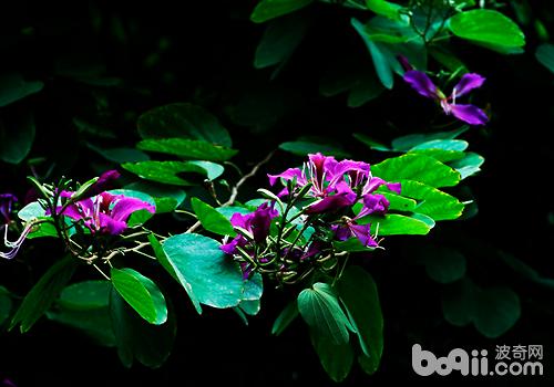 紫荆花的繁殖方法介绍