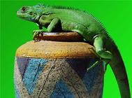 绿鬣蜥是国家保护动物吗?