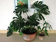 龟背竹的三种繁殖方法