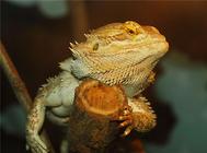孵化温度决定蜥蜴性别