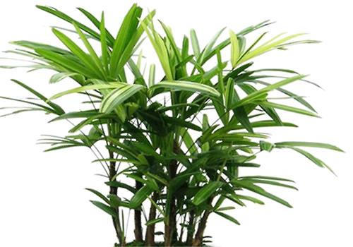棕竹的分株繁殖方法