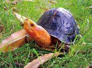 黄缘盒龟的繁殖孵化方法