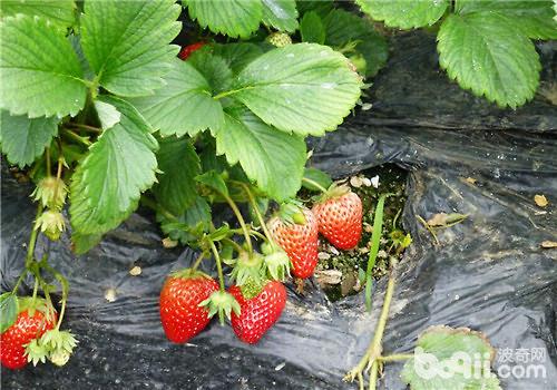 一,草莓对生长环境的要求   1.温度