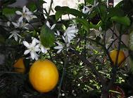 柠檬繁殖方法之扦插