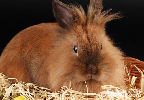 兔子年龄过大,本身就会影响发情,应将其淘汰