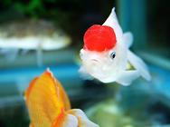 观赏鱼需要补充维生素吗?