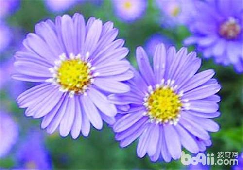 露地栽培荷兰菊的方法介绍