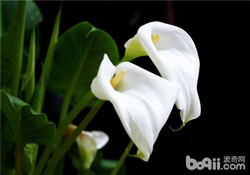 盆栽马蹄莲的注意事项