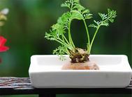 胡萝卜播种前的处理方法