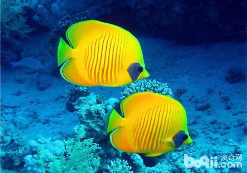 细菌引起观赏鱼疾病该如何防治