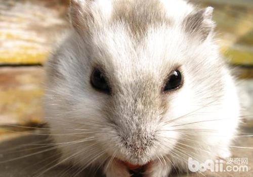 仓鼠的耳朵成喇叭状,可以清楚的听到细微的声音.