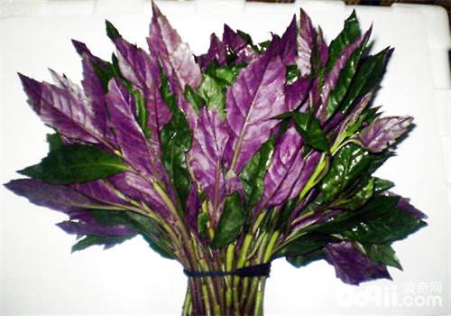 紫背天葵的育苗与定植