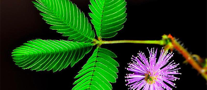 含羞草含羞的原因分析|观叶植物栽培-波奇网百科大全图片