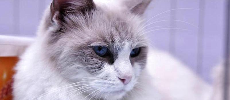 布偶猫饲养应注意哪些方面