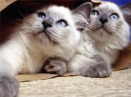 怎么判断猫是不是纯种?