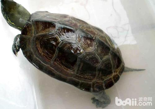 草龟种苗的选择和饲养