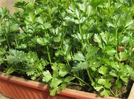 阳台蔬果播种前种子的处理及保存