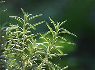迷迭香的移栽及施肥方法