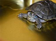 养龟要注意水位和温差的问题