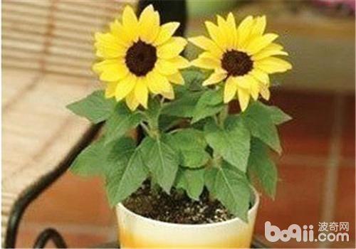 花卉生长缓慢的原因及处理方法