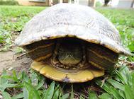 关于龟的冬眠与冬眠时间