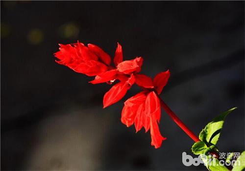 使一串红多开花的方法有哪些