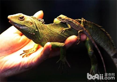 宠物蜥蜴如何饲养?
