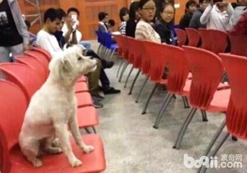 狗狗存在于课堂,大多数情况会让人分心