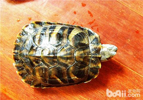 王八跟龟有什么区别?
