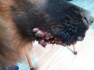 犬传染性性病肿瘤的症状及诊治
