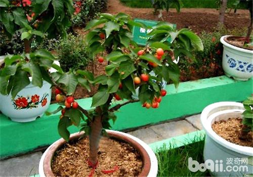 盆栽海棠树土壤