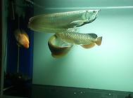 观赏鱼患有出血病怎么办