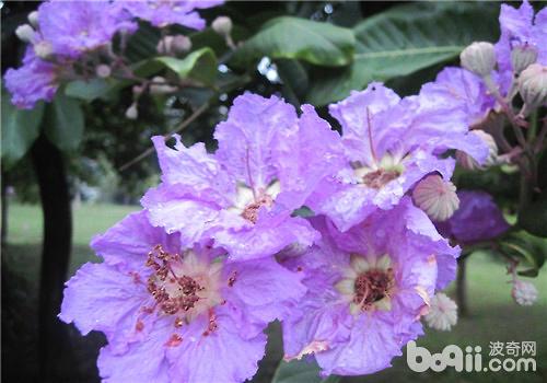 紫薇花花语及作用介绍