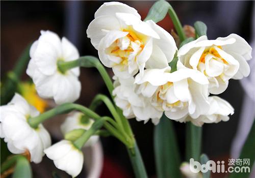 如何养出健康漂亮的水仙花