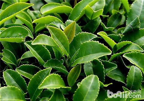 茶树茶云纹叶枯病的防治措施