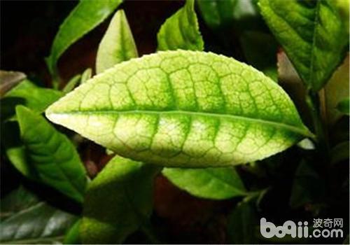 茶树在城镇绿化中的应用|观叶植物栽培-波奇网百科大全