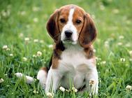 未绝育的狗狗有哪些常见病