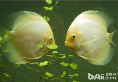 观赏鱼定期体检很重要