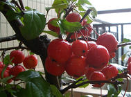 挂果类花卉的冬季管理要点