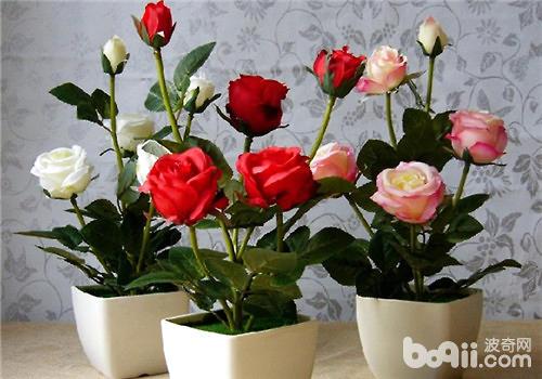 玫瑰盆栽的养护方法