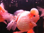 观赏鱼常见疾病及预防
