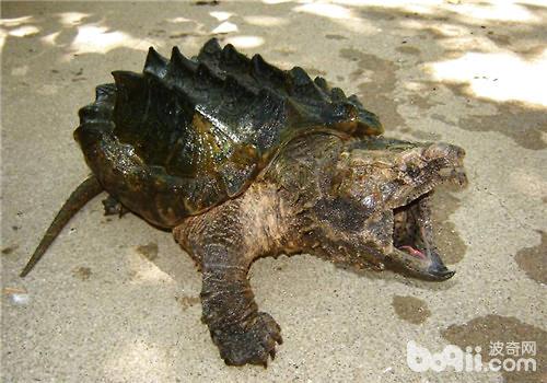 壁纸 动物 龟 两栖 蛙